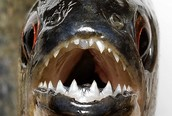 Piranhas live in the amazon