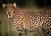 A Cheetah's Habitat/Adaptation