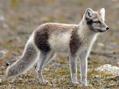 What does the arctic fox look like?