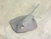 Atlantic Stingray
