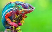 Chameleon Lady!