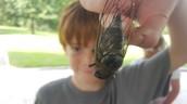 Cicada Discoveries