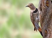 Alabama bird