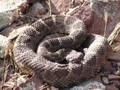 black rattle snake