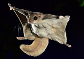 What are flying squirrels?