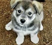 Hybrid wolf puppy!!
