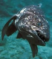 Facts About Coelacanths