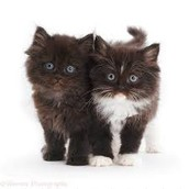 Jackson And Mike Are Kawaii Kittens for sell