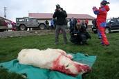 stop kill the  polar bear.