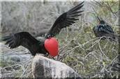 Rose-breasted grosebeak