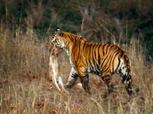 Do you know how Amur Tigers behave?