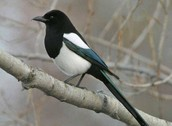Seed-eating Bird
