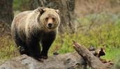 Bears In Yellowstone