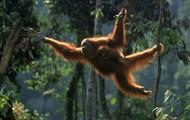 Swinging Sumatran