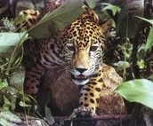 This jaguar is about to attack.