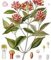 Family: Myrtaceae, Genus: Syzygium, Species:  S. aromaticum