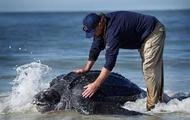 Large Leatherback Sea Turtle