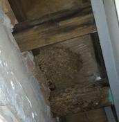 屋樑遭白蟻侵食