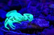 Blue scorpion