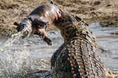 Crocodile eating hippo