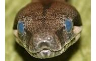 blue eyed boa