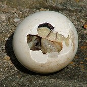 A baby tortoise emerges from an amniotic egg.