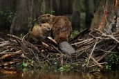 What problems do beavers cause?