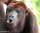 Mr. Red Howler Monkey