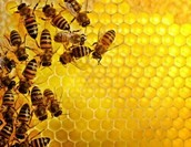 Bees with a honeycomb