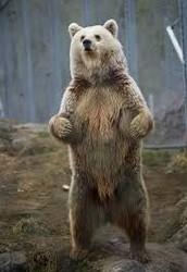 bear facts