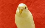 my female parakeet named venus