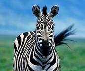 Zebra's!