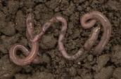 Worm in soil.