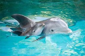 Famous Dolphin