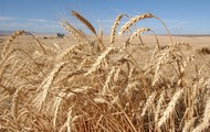 Wheat is down