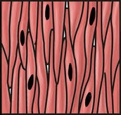 Muscle Tissue picture #2