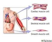 Organ of Muscular System