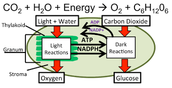 Photosynthesis: Light Independent/Dark cycle
