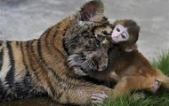 Monkey chewing on a tigers head in North Africa