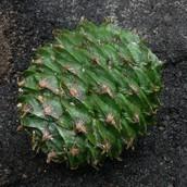 Araucaria bidwillii (Bunya Pine)