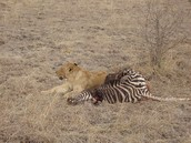 what lions eat