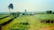 Sugar Cane Plantation in Cuba
