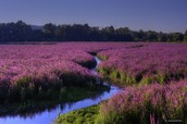 Purple Loosestrife field