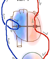 שני מחזורי הדם