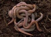 Oligochaeta(Earthworm)