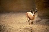 Deer Dorcas
