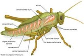 Respiratory System of Grasshopper