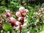 Pipsissewa Plant Used In Medicine