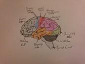 Major Regions of the Brain