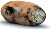 rotton potatoes